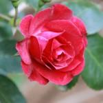 Trandafirii din gradina si alte flori noi