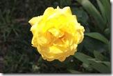 trandafir galben desfacut