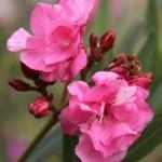 Flori din gradina de la tara