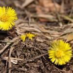 Flori de munte primavara