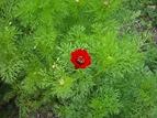 floare de primavara