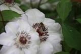 albina pe clematite