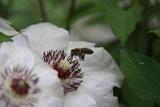 albina in zbor spre polen