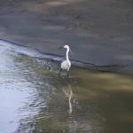 Egreta mica – foto