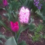 Zambile, narcise, lalele si alte flori de la tara