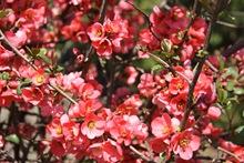 flori de gutui japonez