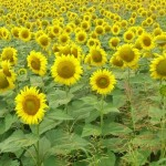 In lanul de florea soarelui