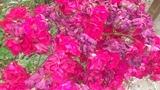 trandafiri de toamna