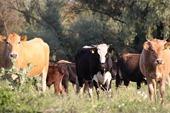vaci in delta