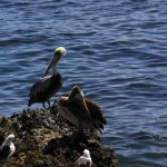 Pelicani de Pacific