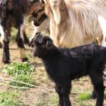 Portrete de… capre si iezi