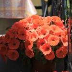 Flori de primavara din Thassos – Grecia