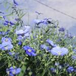 Albastrele (flori de in)