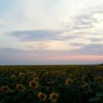 Lan de floarea soarelui pe seara