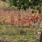 A rugint frunza din vii…