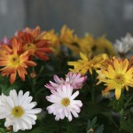 Crizanteme de primavara